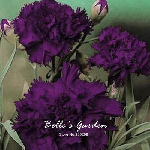king of black 'Graines Dianthus Hardy 50pcs fleur plante Graines Bonsai jardin Plante en pot