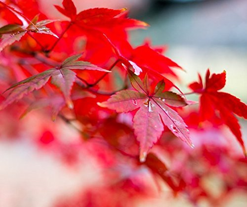 20 graines / pack japonais Red Maple Tree Avec Hermetic Package Very Beautiful * Japon Maple Nouvelles Graines * Plus Cadeau Mysterious