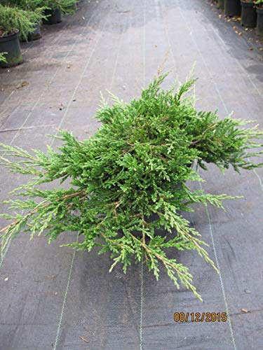 Teppichwacholder Prince of Wales - Juniperus horizontalis Prince of Wales