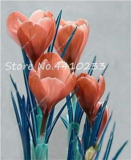 GEOPONICS Semillas: 100 Pcs Freesia Bonsai Plant, No fresia Bulbos flores de las orquídeas de colores Plantación fragante flor de Bonsai magnífico jardín de DIY: i