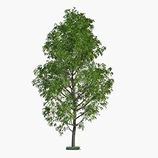 10 Hybrid Poplar Tree Cuttings - Fast Growing Shade or Privacy Trees - 10 Poplar Trees