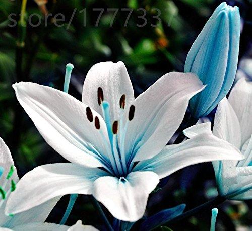 parfum de blueheart Unique plantes à graines de lys, les plantes bonsaï de semences Lily. 20 grains / sac, maison jardin
