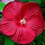 KINGDUO Egrow 50 Unids/Bolso Hibiscus Flower Seeds Moscheutos Bonsai Giant Hibiscus Flower Bonsai Perenne Cottonrose Hibiscus Rare Bonsai Plant-Rojo