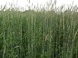 1LB Winter Rye Seed Cover Crop,Food Plot Deer,Wildlife