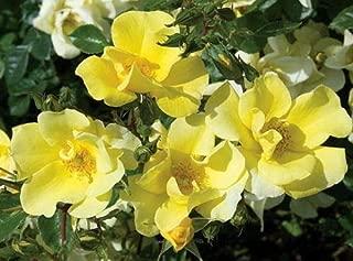 lemon drift rose