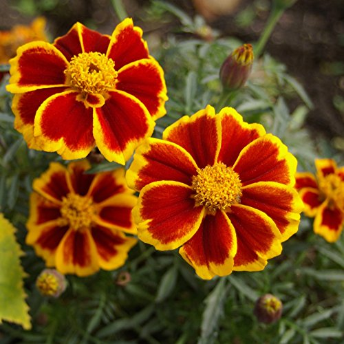 Ringelblume rot Marietta Samen - Tagetes Glockenblume Nana