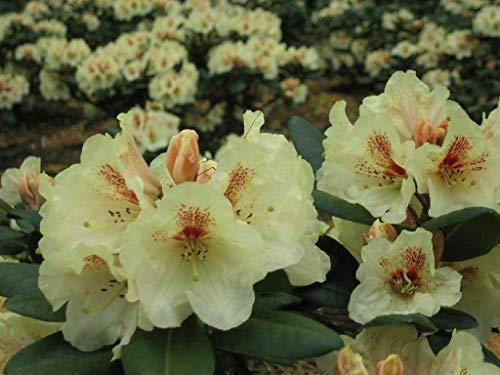 Rhododendron-Hybride Goldbukett Gelb