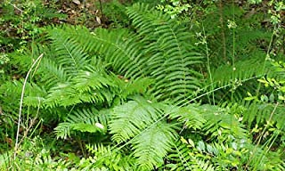5 Cinnamon Fern Bare Root Plants (Osmundastrum cinnamomeum) Plant Beauty NHKM49