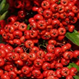 """Genuine Plant World Seeds branded packets supplied direct from Plant World Seeds UK Common Name: FIRETHORN Height: 90cm-1.5m This variety of the lovely """"Firethorn"""" is a compact, spiny evergreen shrub with narrow glossy leaves, sprays of white flowers..."""