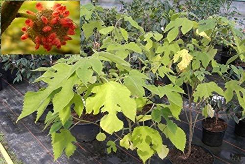 Broussonetia papyrifera - Papiermaulbeerbaum - Japanischer Papierbaum