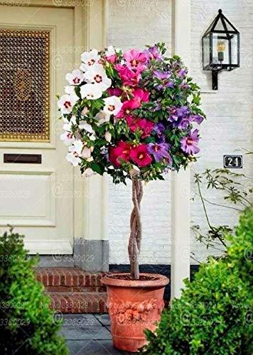 GETSO 100pcs Rare Hibiscus Bonsai Ibisco Bonsai Albero perenne fioritura pianta in Vaso per Fiori Piante di Giardino domestiche
