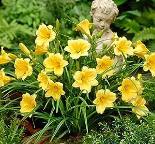 10 Pcs Bareroot Zone 4-11 Hemerocallis Stella D'oros Daylilies Yellwo Flowers - DBN0111