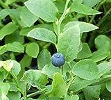 Vaccinium myrtillus - Heimische Blaubeere - Wilde Blaubeere
