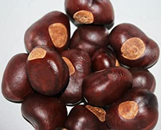 DriedDecor.com Ohio Buckeye Nuts - Small Size Buckeyes Nuts
