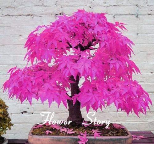 BeCreative Pink Japanese Maple Bonsai Acer Seeds Rare Unusual Stunning Garden Plant (10 seeds)
