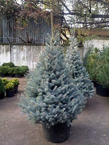 Abete Argentato Picea Pungens Glauca Blue Diamond in vaso ø18 cm h.40/60 cm