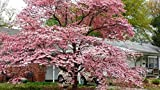 Live Plant 8-12' Tall 2 1/2' Pot Pink Dogwood Tree Flower Plant Outdoor BV62-NR