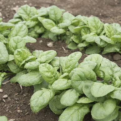 David's Garden Seeds Spinach Emperor 8771 (Green) 500 Non-GMO, Hybrid Seeds