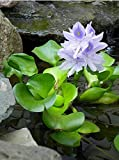 AquaLeaf Aquatics 3 Water Hyacinth - Floating Live Pond Plants