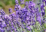 4 Phenomenal Lavender Plants in 4 Inch Pots