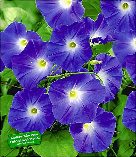 BALDUR Garten Trichterwinde 'Blue Hardy', 1 Pflanze Ipomoea Indica Kletterpflanze winterhart Prunkwinde