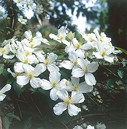 Berg Waldrebe Grandiflora 40-60cm - Clematis montana