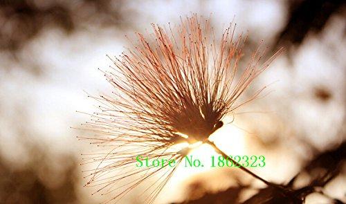 Hot! 50 pcs Albizia Julibrissin Arbre Graines Charme Fleur chinoise Graines Plantes Bonsai pour Garden Prix de gros gratuit Shipp