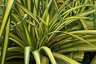 Phormium tenax Yellow Wave | New Zealand Flax | 10_Seeds
