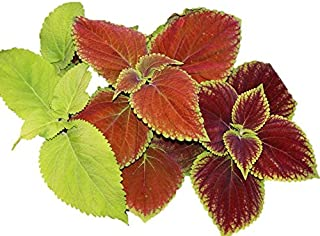 Coleus Rainbow Mix 600 Seeds Color Red Green Purple Leaves 19 (600 Seeds)