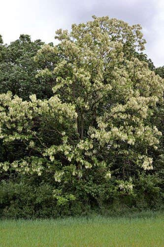 Negro Locust, Robinia pseudoacacia, rápido! 50 semillas de árboles