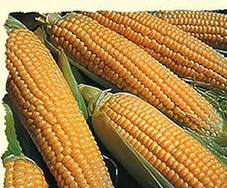 Iochief Hybrid Sweet Corn 150 Seed Jung003