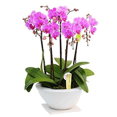 ミニ胡蝶蘭 ギフト 平鉢 8号鉢 5本立 ピンク・ホワイト お花 プレゼント お祝い 生花 鉢植え 開店祝い 父の日 敬老の日 おじいちゃん 贈り物