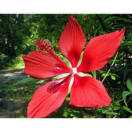 5 seeds Hibiscus coccinea red flowers real from homegrown