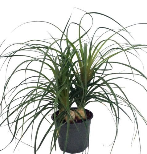 plant for balcony -Ponytail Palm