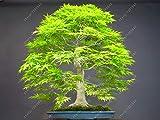 Bloom Green Co. Pianta in vaso bonsai 100% vera pianta di acero rosso Bonsai giapponese, 20 pc/pacchetto, molto bella Albero coperto: 1