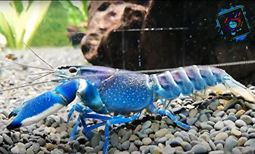 Blau - Rosa Aquarium Krebs - Cherax Pulcher