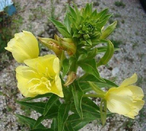 40 + Onagre/.Oenthera/Jaune pâle/Graines de fleurs/réensemencement annuel