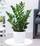 BALDUR Garten Zamioculcas, 1 Pflanze Glücksfeder, Zamie, Zamia Farn, Zamia Palme, Pflegeleichte Zimmerpflanze Zimmerpflanze