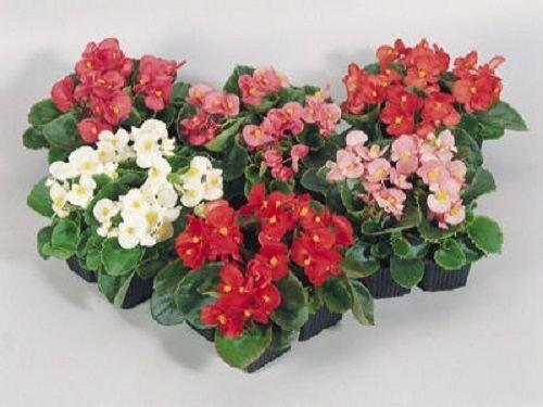50 Graines Begonia Graines de Super Olympia pastillées Mix Graines de fleurs