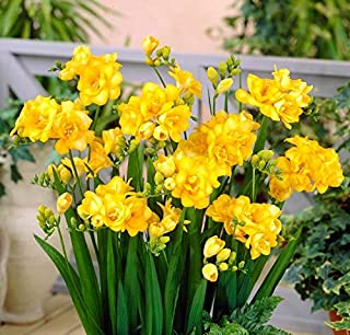 FERNSFLY™ IMP. Freesia|Freesias Excellent Quality Flower Bulbs for Attractive Aromatic Flowers Home indoor Outdoor Gardeni...