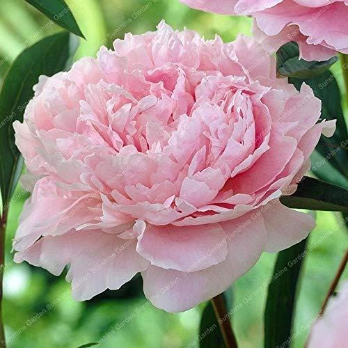 HONIC 2pcs Peony Bulbi perenne Fiori Piante Bonsai Luce Fragrant Perenne Giardino Esotico Piante a Fiori Fai da Te casa Giardino: 2 peonie Rosa