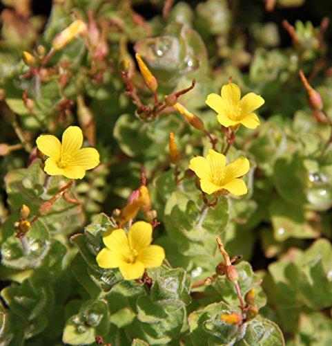 2er-Set - winterhart - Hypericum elodes - Sumpf-Johanniskraut - Sumpf-Hartheu, gelb - Wasserpflanzen Wolff