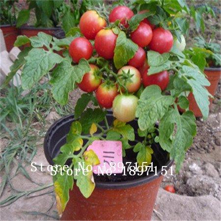 Big vente Mix Couleurs Graines Tomate 100pcs Jardin & Home Vegetable Seeds Violet Bleu Facile plantation agriculture Tomates Livraison gratuite s