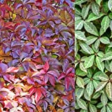 Parthenocissus Henryana x 2 Plants - Chinese Viginia Creeper in a 9cm Pots