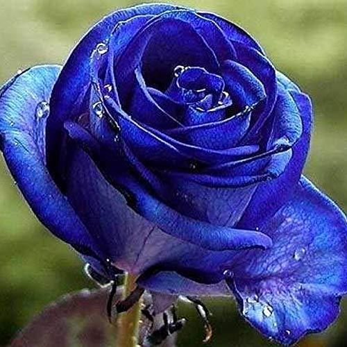 TOYHEART Semillas De Flores De Primera Calidad, 1 Bolsa Semillas De Rosas Negras Azules Semillas De Flores De Rosas Pequeñas En Macetas Productivas Sin OMG Para Jardín Azul