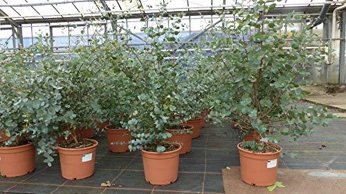 XXL Eucalyptus Gunni Gunnii Busch Eukalyptusbaum 60-70 cm, Pflanze winterhart