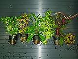 Plantas de Acuario. Lote 6 Tipo A