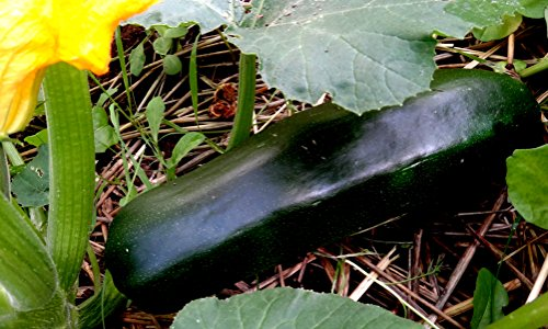 15 graines - COURGETTE Black Beauty - Cucurbita Pepo