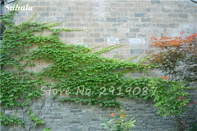 50 Pcs mixte Boston Seeds 100% vrai Parthenocissus tricuspidata semences de plantes en plein air presque pas de soins Escalade décorative des plantes 5