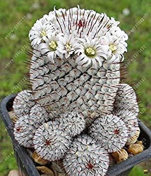 Virtue 100 teile/beutel Echte mini kaktus samen, seltene sukkulente mehrjährige kräuter pflanzen, bonsai topf blumensamen, zimmerpflanze für hausgarten 4